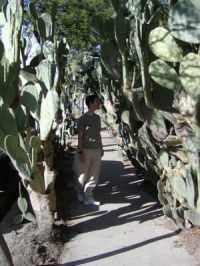 Dethorned prickly pear sidewalk tunnel